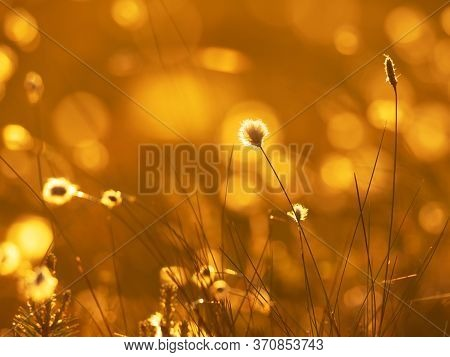 Cotton Grass In The Rays Of Sun On Sunset. Nature Background