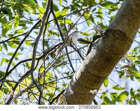 A Japanese Bush Warbler, Horornis Diphone, Or Uguisu In Japanese, Perches In The Undergrowth Of A Tr