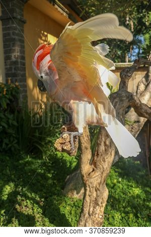 Beautiful Moluccan Cockatoo Parrot Sitting On A Dry Branch And Waving Its Wings. Cute Salmon-crested