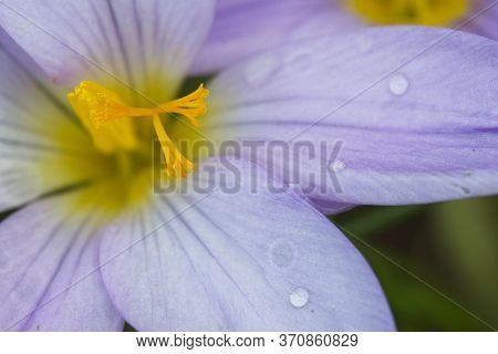 Detail Of Crocus Flowers With Yellow Pistils And Purple Petals.