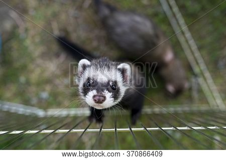 Black Sable Ferret Looking Up And Trying To Climb Up From Playpen