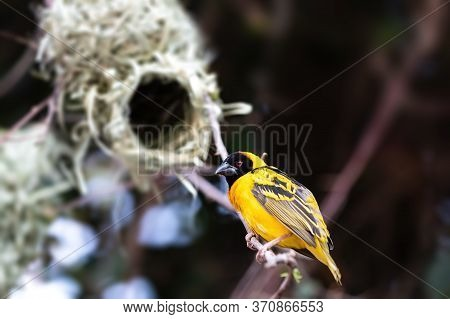 Male Of Small Yellow Bird Northern Masked Weaver (ploceus Taeniopterus), Lake Ziway Ethiopia, Africa
