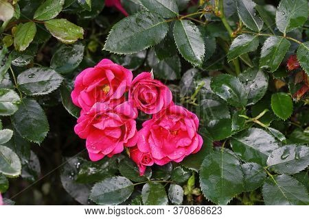 Beautiful Shrub Bush Of Pink Roses With Yellow Centers Still Dripping With Rain Drops.