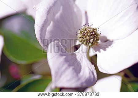 Dogwood Bloom Shows Beauty And Detail From The Garden