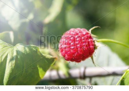 Ripe Juicy Raspberry Berry Grows On A Bush In An Organic Garden. Rubus Idaeus (raspberry, Also Calle