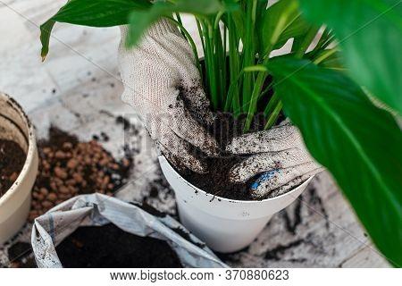 Houseplant Transplant. Womans Hands Transplanting Plant Into A New Pot