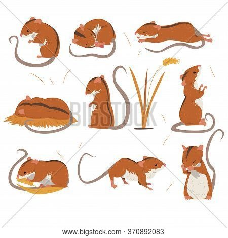 Field Mouse Collection, Cute Red Rodent Animal With Black Stripe On Its Back In Various Poses Vector