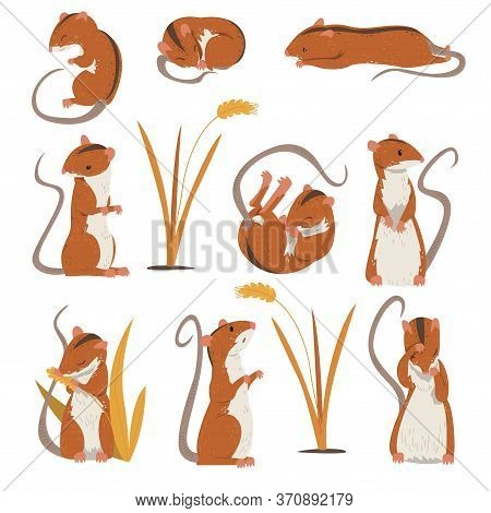 Field Mouse Collection, Cute Fluffy Red Rodent Animal With Black Stripe On Its Back In Various Poses