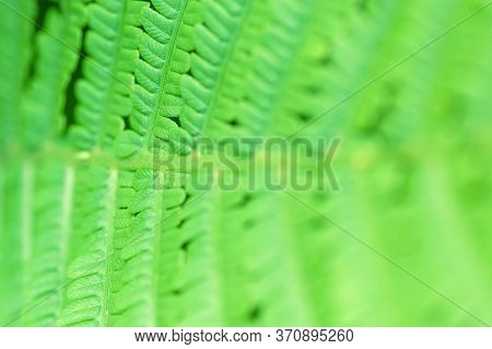 Fern In The Forest Close-up. Green Fern In Selective Focus. Young Fern.