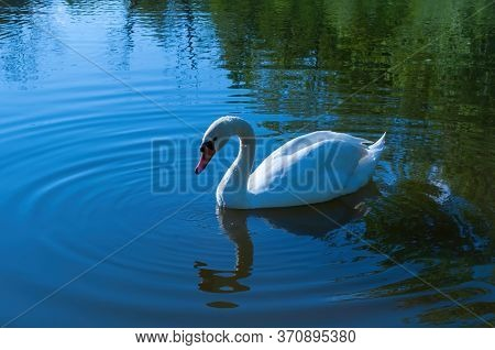 White Swan Swims In The Lake. Beautiful Water Bird. Stock Photo