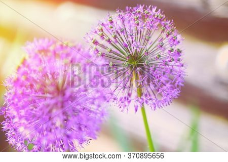 Hugane Onion Flower Batun. Onion Flower In The Spring Afternoon. Blooming Giant Onion.