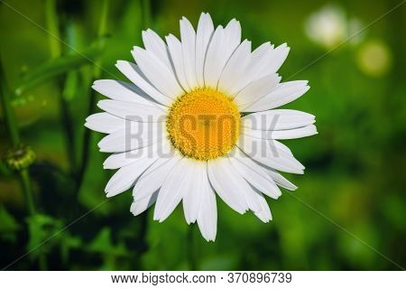 Daisy Flower In Summer Close-up. Chamomile Closeup On A Green Background. Daisy. White Daisy. Chamom