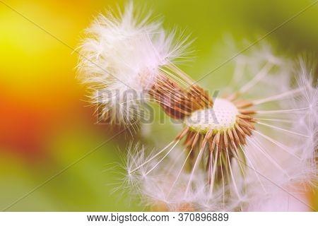 Closeup Of Dandelion Flower. Macro Dandelion Seed. Springtime Flowering Of Dandelion In The Afternoo