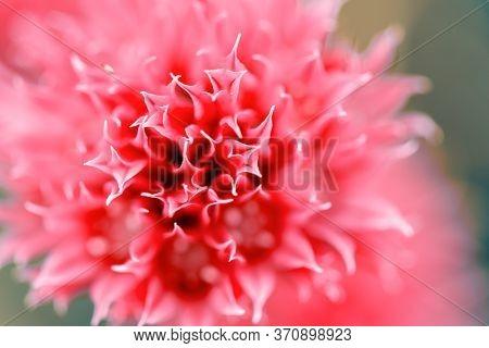 Blooming Onions. Fragrant Onions. Schnitt Flower.red Flower Background. Unusual Beautiful Flower. Fl