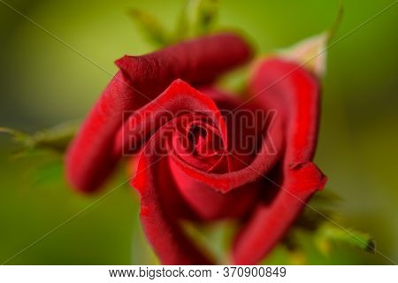 Red Rose In The Sunlight. Beautiful Red Flower Summer Day. Flowering Rose Close-up. Festive Rose In