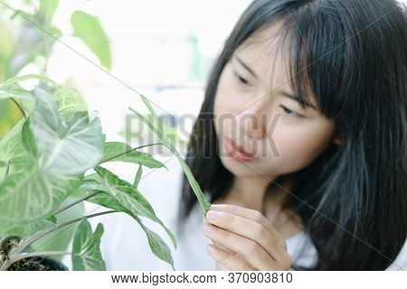 Asian Woman Admiring Fresh Green Arrowhead Vine Plant (syngonium Podophyllum) In Black Pot For Decor