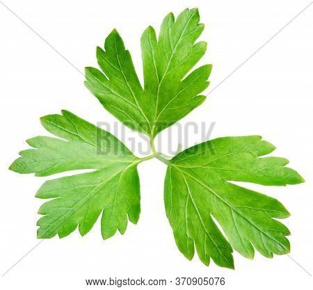 Garden Parsley Herb (cilantro) Green Leaf Isolated On White Background With Clipping Path