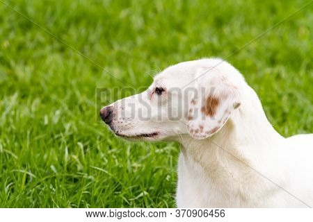 Side Short Close Up Portrait Of White Cute Non-pedigree Dog On The Green Background.