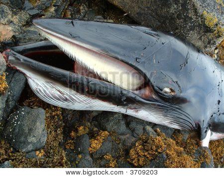 Dead Minky Whale