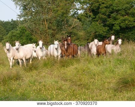 A Large Herd Of Native Ponies In  A Summer Paddock.