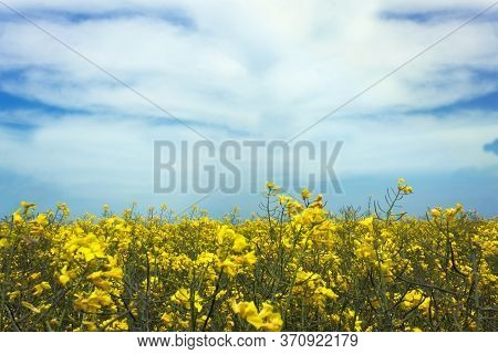 Blooming Rapeseed Field Under A Blue Sky. Rapeseed (brassica Napus ) Is A Bright Yellow Flowering Re