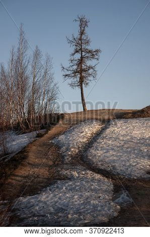 Birch Trees Without Leaves In Early Spring. Snow On The Ground. March