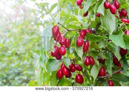 Red Ripe Dogwoods Fruits On A Fruit Tree In The Organic Garden. Cornus Is A Genus Of Woody Plants In