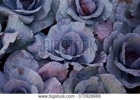 Decorative Composition Of Fresh Decorative Brassica Oleracea, Variety Proxima, Autumn Bouquet. Multi