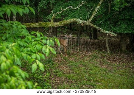 A Young Buck Whitetail Deer With Small Velvety Antlers Approaching In The Clearing Of The Woodlands