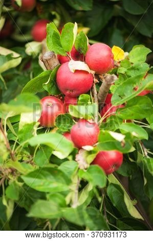 Apples Hanging From A Tree Branch In An Apple Orchard
