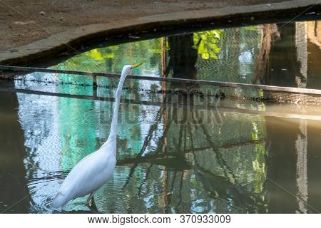 A White Waterfowl With A Yellow Beak Stands In The Water. A Heron With A Long Neck Looks Up. Zoo Wit