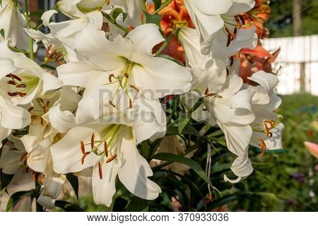 Beautiful Lily White Flower. Several Flowers Close-up, Pistils With Pollen. Summer Is A Sunny Day. L