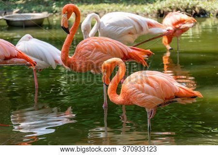 Beautiful Pink Flamingos Stands In The Water. Two Birds Stand Side By Side On The Same Paw. Reflecti