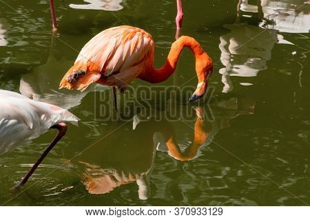 Beautiful Pink Flamingos Stands In The Water. The Bird Stands On One Paw And Its Beak Touches The Wa
