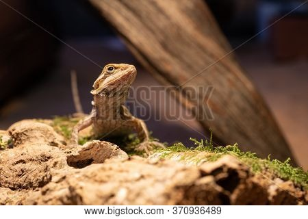 Australian Bearded Dragon Lizard. Agama Lizard Lies On A Log On Wood Background. Close-up, Exotic Re