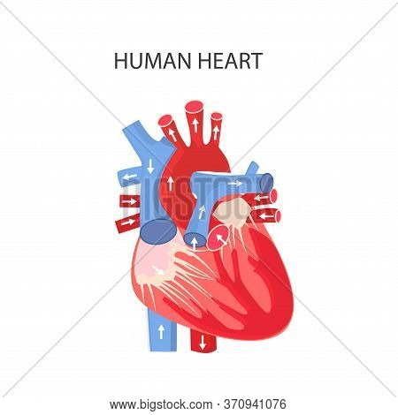 Heart Of Man. Anatomical Structure Of The Heart. Diseases, Treatment And Diagnostics Of Heart Diseas