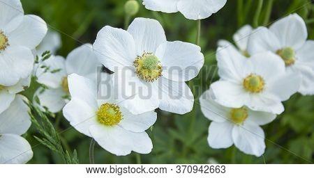 Anemone Hupehensis Japonica Double Flower, Chinese Anemone, Japanese Anemone, Thimbleweed, Windflowe