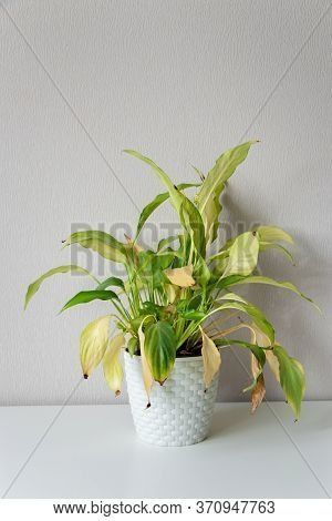 Wilting Home Flower Spathiphyllum In White Pot Against A Light Wall. Home Green Plant. Concept Of Ho