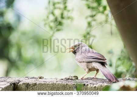 Yellow Billed Babbler (turdoides Affinis) Captured While Perching On A Wall And Singing