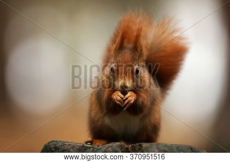 Cute Red Squirrel With Long Pointed Ears Eats A Nut In Autumn Orange Scene With Nice Deciduous Fores