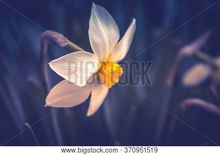White Narcissus Daffodil On A Dark Background. Spring Flower Narcissus Daffodil , Close-up In The Ga