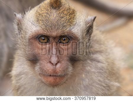 Macaque Portrait At Uluwatu Temple In Bali, Indonesia