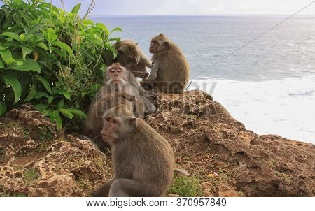 Group Of Five Macaques Grooming On The Cliffs At Uluwatu Temple, Bali, Indonesia