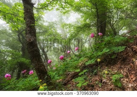 In Spring, Wild Pink Peonies Bloom In The Forest. Fog In A Beautiful Forest. Nature Background Natur