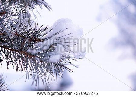 Spruce Branch On Winter Day.large Blue Spruce Branch With Snow. Winter Spruce Branch Under White Sno