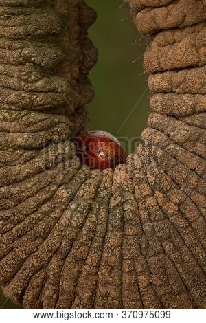Closeup Of An Elephant's Wrinkled Trunk Holding Fruit With Green Background In Samburu National Rese
