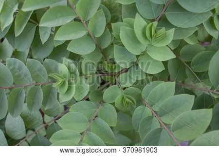 Top View Of Star Gooseberry Or Phyllanthus Acidus Tree For Background.