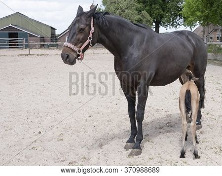 Small Yellow Foal Drink Some Milk From His Mother. Baby Colt Suck Milk From Mother Horse