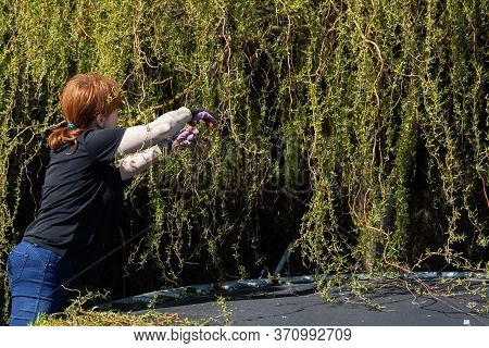 Thick Weeping Willow Crown. Spring Pruning Of Branches. Red-haired Girl With Pruning Shears Works On