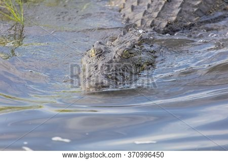 A Nile Crocodile Enters Swims Through The Water In The Chobe River
